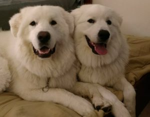 Two Great Pyrenees sitting together and posing for the camera.