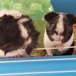 Two female black and white guinea pigs