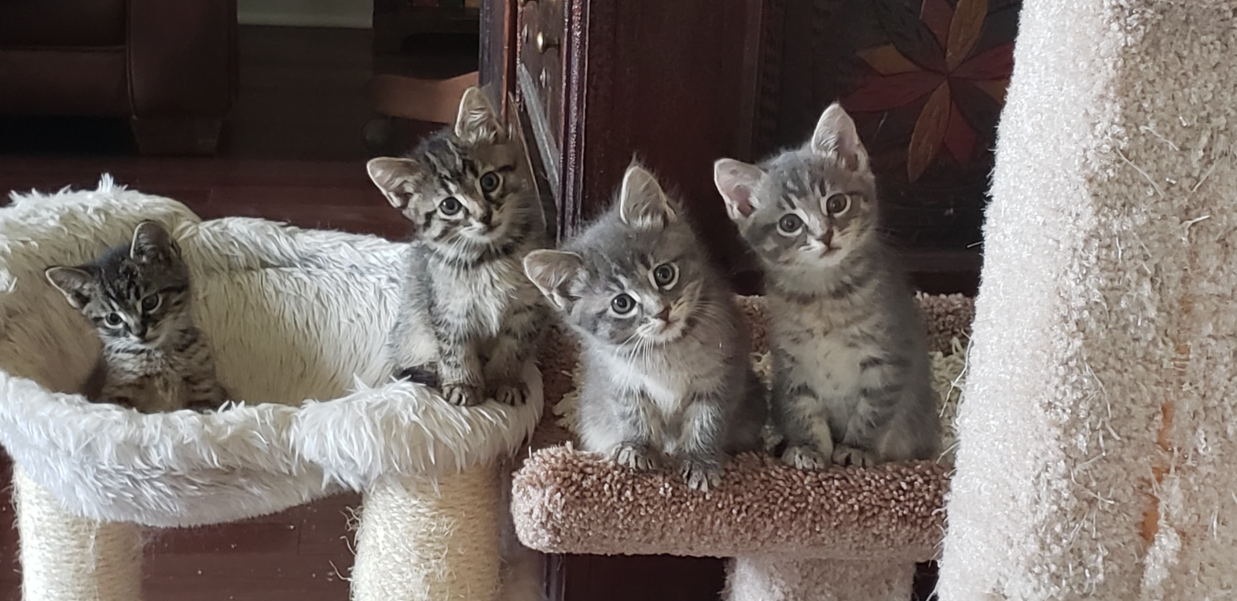 Four tiger-striped kittens looking cock-eyed at the camera.